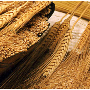 Indian Feed Wheat